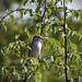 Обыкновенный жулан (сорокопут-жулан) / Red-backed Shrike / Lanius collurio /   Червеногърбата сврачка / Neuntoter
