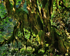 Hoh Rain Forest (George Reader DC) Tags: trees mountains green nature forest moss hoh olympicpeninsula pacificnorthwest nationalparks olympicnationalpark hohrainforest