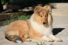 IMG_2234 (tunderbirde) Tags: dog pet animals puppy collie rough roughcollie