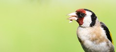 Goldfinch (Mark Illand) Tags: goldfinch lochwinnoch scotland rspb reserve birds nature photography sonyalphadslr sony aplha a77 sal70300g closeup