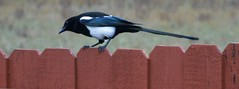 Pesty magpie....Explored..thank you!! (ltodd1) Tags: magpie fence
