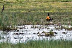 Australian Shelduck (Tadorna tadornoides) (Steve J Chivers) Tags: australianshelduck shelduck duck tadorna tadornatadornoides anatidae