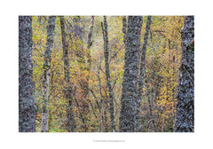 Autumn Mosaic (calderdalefoto) Tags: glen affric nature reserve scotland scottish highlands trees forest woodland autumn fall