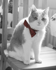 (Helen Lundberg Photo) Tags: cat cute fluffy bow bowtie tie animal mammal pet blackandwhite monochrom