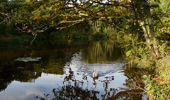 Not a sound (Ollie_57.. on/off) Tags: nature flora fauna trees bird swan muteswan cygnusolor pond water reflections tranquil landscape rural countryside canon ef24105mm 7d teigngrace devon westcountry england uk affinityphoto ollie57