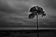 Brazil nut tree (Jamie B Ernstein) Tags: tree brazil brazilnut nuttree acre riobranco nik blackandwhite monochrome sillouette sky clouds