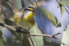 Striated Pardalote 2016-08-07 (60D_2629) (ajhaysom) Tags: striatedpardalote pardalotusstriatus woodlandshistoricpark greenvale melbourne australia australianbirds canoneos60d sigma150600
