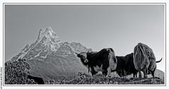 Machhapuchhre (6993m) (L'Abominable Homme de Rires) Tags: machhapuchhre nepal montagne montain trek atalante landscape annapurna nb noiretblanc blackwhite yack