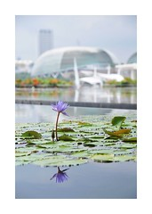Lilly by the Bay (red stilletto) Tags: singapore marinabay marinabaysands artsciencemuseum artsciencemuseumsingapore theesplanadetheatres waterlilly reflection