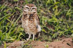 Owl (lorraineoli) Tags: owl coruja nature natureza animal beautiful picture day