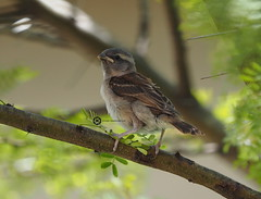 First Day Out Of Nest (jan-krux photography - thx for 1.6 Mio+ views) Tags: juvenile capesparrow jugendlich jung spatz tree baum vogel bird animal avian young little small olympus em1 omd