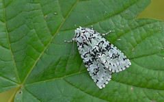 Merveille du jour (Griposia aprilina). (Bob Eade) Tags: moths merveilledujour griposiaaprilina autumn eastsussex nikon d800 macro micro lepidoptera green wonderoftheday noctuidae macromoth