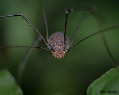 opilionids arachnids or Daddy Longlegs (flintframer) Tags: daddy longlegs spiders nature muscatatuck nwr spider indiana macro wow dattilo wildlife canon eos 7d markii ef100mm