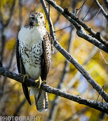 Autumn Red-tailed Hawk (Ricky L. Jones Photography) Tags: canon teamcanon bird birds birding birdwatching birdphotography wisconsin birdsofprey midwest raptor redtailed nature naturephotography