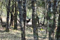 Farouche (sarahcqz1) Tags: daim sauvage anzeme champsanglard creuse limousin wilderness wild deer farouche france