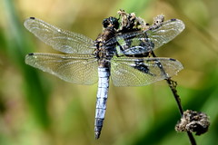 Hanging on. (pstone646) Tags: dragonfly nature animal insect wildife blue fauna kent closeup bokeh
