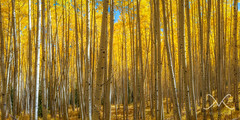 Aspen Trees in Autumn (Mike Ver Sprill - Milky Way Mike) Tags: aspen trees autumn fall foliage seasons changing beautiful colorado mountains panorma pano panorama mike ver sprill michael versprill milky way nikon d800 wide angle peter lik style fine art for sale september surreal serene nature landscape best