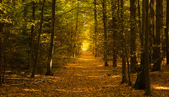 This Time Of The Year Again (ukasz Babula) Tags: poland autumn october forest wood woods path trail road tree trees leafs golden outdoor landscape nature natural countryside serene peaceful