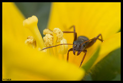 You found my stash (MathBIB) Tags: nature insect insecte macro small petit closeup canon 70d 100mm ant fourmis fourmi flower flowers yellow jaune green vert pistil