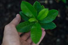 Lemon  (henriiqueprado) Tags: nikond3200 lemon limosiciliano expressyourself explore 50mm nature natureza