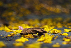 Yellow carpet for a dead leaf_c (gnarlydog) Tags: doindustriesnavitar75mmf13 adaptedlens cmountlens manualfocus colorful detail bokeh shallowdepthoffield flowers spring leaf decay