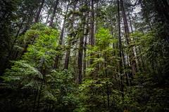 Rain for the Redwoods (Sonarsgs) Tags: redwoods trees forest nature landscape rain moisture outdoors california