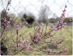 Restrained Beauty (mortiemctavern) Tags: day11 roidweek2016 spring polaroid180 aus victoria kyneton fp100c polaroid