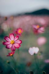 * (t*tomorrow) Tags: canon eos 5d2 35mmf14ais 35mm flower 花 コスモス 笠岡ベイファーム