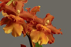 Orchidee, Cambria (rosenscarlet) Tags: cambria orchidee blume pflanze