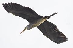 grey heron fly over   blauwe reiger L (kPepels) Tags: grey heron flyover blauwe reiger bif flight egret