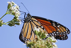Migrating Monarch (Ellsasha) Tags: monarchbutterfly butterfly migration south texas houston garden plants flowers wildflowers nativeplants texan blues white orange migrating insects