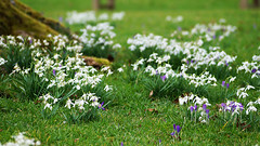 Snowdrops and crocusses at Rosemoor (sallyclarkephotos) Tags: snowdrops crocuses spring earlyspring rosemoor