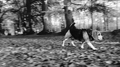 Dog Walks (phoebe.horner) Tags: leaf leaves autumn uk england movement bw blackandwhite animal animals trees wood woods forest outdoors outdoor walking walk dogs dog