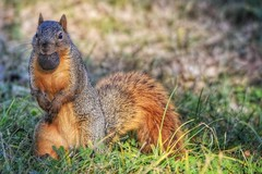 A SQUIRREL AND HIS NUT (Lisa Plymell) Tags: nikond7200 nature animal squirrel sigma150500