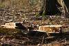 ckuchem-7206 (christine_kuchem) Tags: wald abholzung baum baumstämme bäume einschlag fichten holzeinschlag holzwirtschaft waldwirtschaft