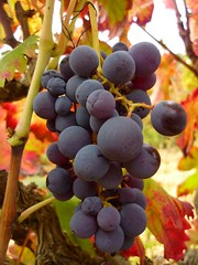 Grapes (calafellvalo) Tags: otoo autumn fall automne herbst ocher reddle ocre ocker viedos vineyard weinberg vignoble rouge red calafellvalo madroo tardor
