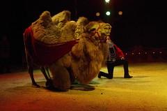 IMGP4866 (kanakacatherineb) Tags: cirque venise narbonne landri 2016 lions chameaux chiens dompteurs jongleur gymnaste