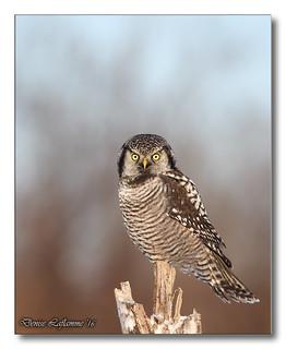 1E1A7945-DL   -   Chouette épervière / Northern Hawk Owl.