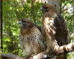 Hawk Pair (sh10453) Tags: bloomfieldhills michigan usa westbloomfield nature hawk panasonic fz200