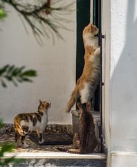Open the door, now! (Gilbert Kuhnert) Tags: cat cats ells fauna grece greece griechenland griekenland haus hellas house huis kat katze katzen natuurfloraenfauna poes poezen skiathos sporaden sporades     thessaliastereaellada gr