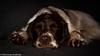 47/52 ZigZag 2016 (Flemming Andersen) Tags: sleep zigzag ft cocker spainel dog 2016 52weeksfordogs sleepy animal ftcockerspainel jelling regionsyddanmark denmark dk