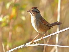 Swamp Sparrow 09-20161121 (Kenneth Cole Schneider) Tags: florida miramar westbrowardwca