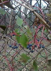 / Vadszl / Wild grapes (ruta / ) Tags: wildgrapes grapes grapevine autumn urbannature