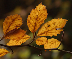 in The Afterglow (elhawk) Tags: autumn beechleaves afterglow