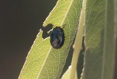 Plagiodera versicolora - 11 VIII 2016 (el.gritche) Tags: coleoptera france 40 garden chrysomelidae plagiodera versicolora plagioderaversicolora salicaceae salix