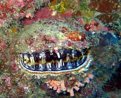 Sarlacc clam (Carpe Feline) Tags: carpefeline mauritius scubadiving ocean reefs morayeels anemonefish scorpionfish lionfish arrowcrab nudibranch needlefish underwater