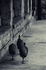 Guinea Fowl (martie1swart) Tags: montecasinobirdgardens birds animals southafrica guineafowl walking blackandwhite