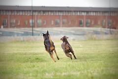 607A5991 (Bianca Schouten) Tags: doberman dobermann dogs dog