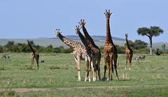 Masai Giraffes wide scene - Masai Mara, Kenya. (One more shot Rog) Tags: giraffe giraffes masaigiraffe masaimara safari africa african kenya tallest tall high wildlife rogersargentwildlifephotography