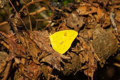 7K8A3665 (rpealit) Tags: scenery wildlife nature chincoteaque national refuge cloudless sulphur butterfly